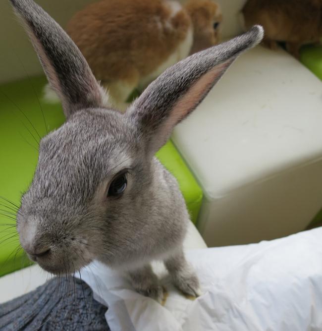 bunnygray