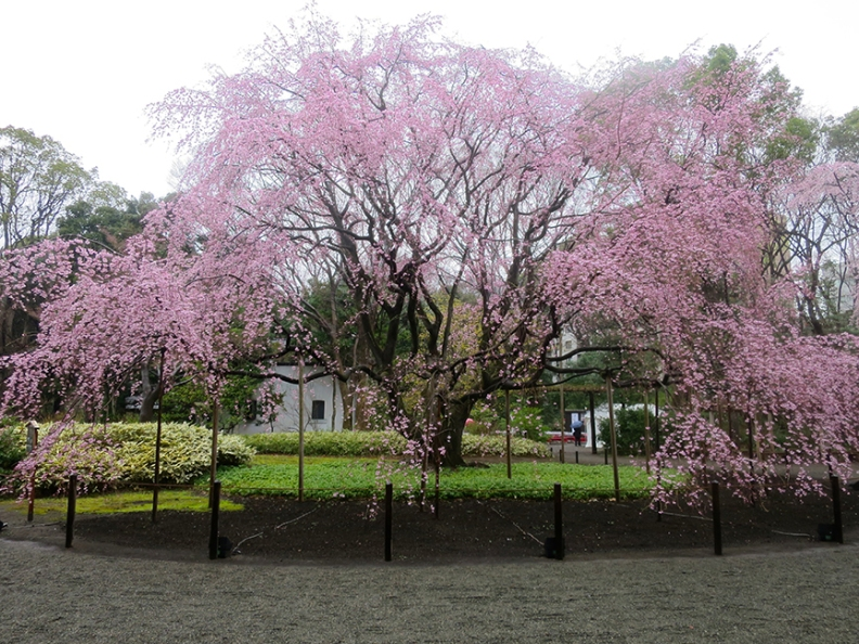 This famous cherry tree is also lit up at night until 9:00, for your blossom viewing pleasure.