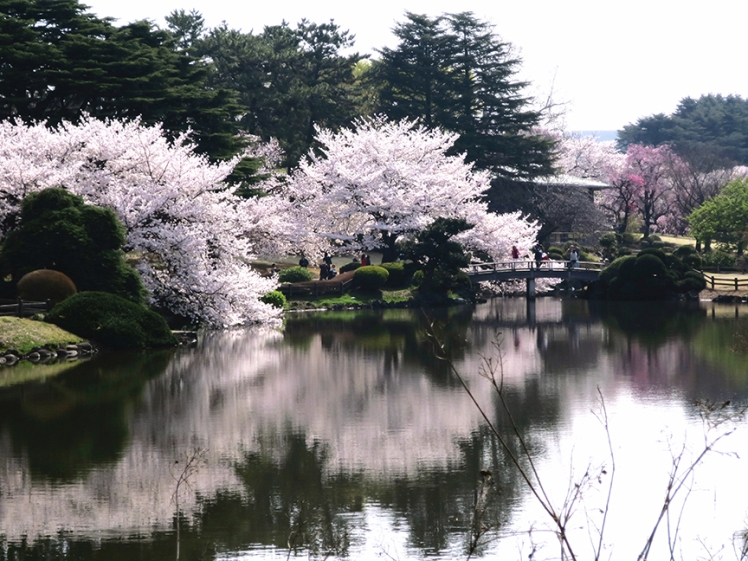 Huge cherry trees reflected in one of the ponds at Shinjuku Gyou-en Garden