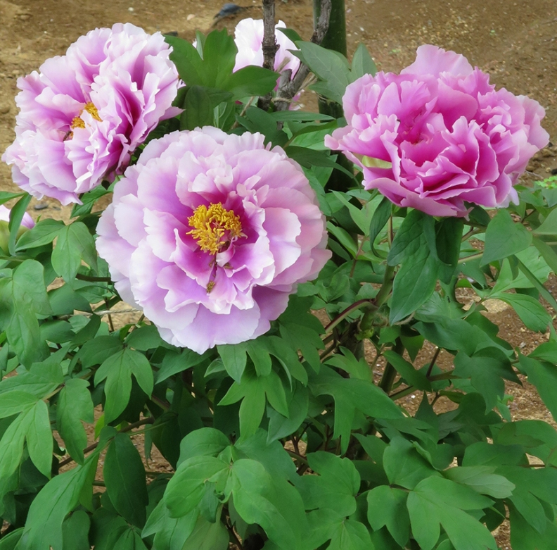 Don't miss the peonies as big as dinner plates, blooming from mid-late April! Each plant gets its own red parasol, to shade it from the sun.