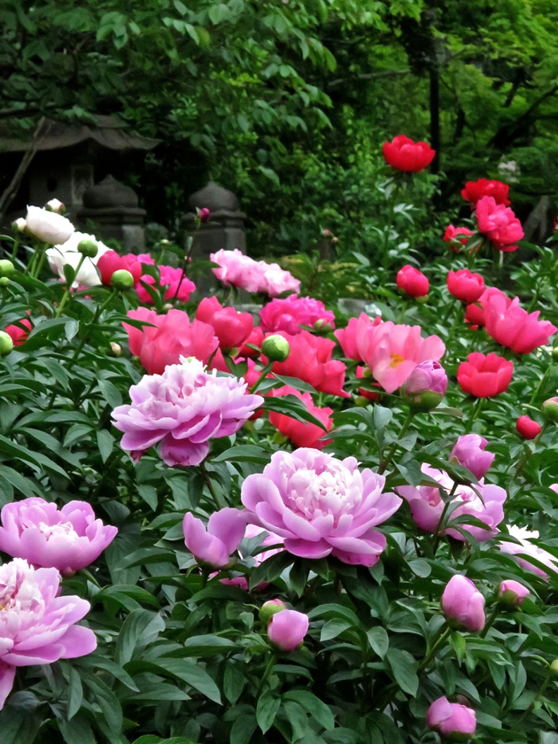 The fragrant herbaceous peonies take over when the tree peonies are done, and are just as beautiful.
