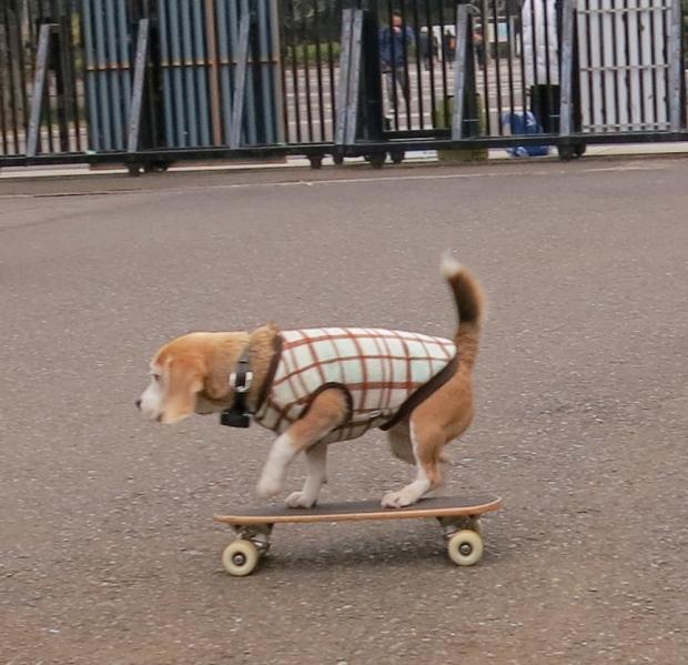 Skatebeagle