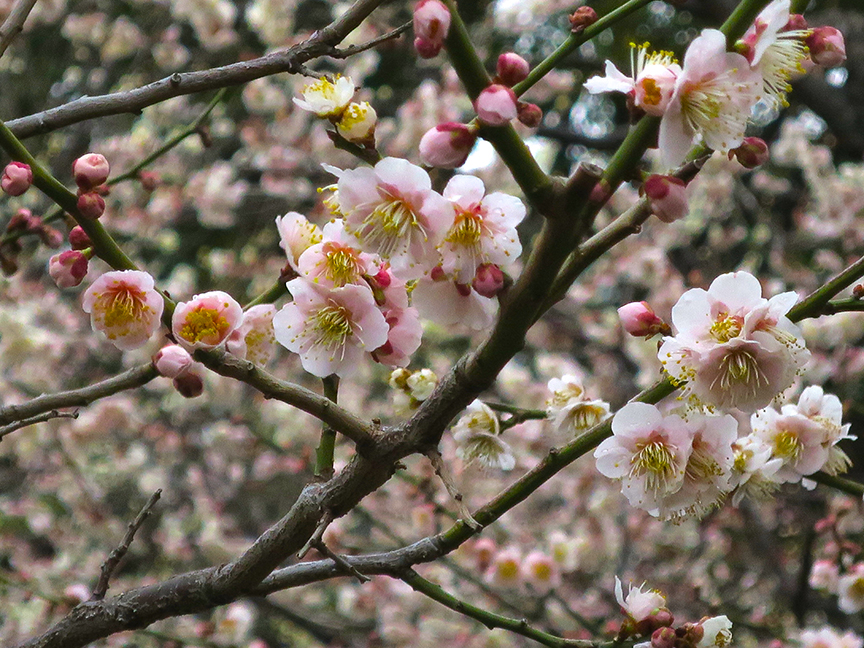 There are many kinds of plum trees blooming on the grounds, all gorgeous.