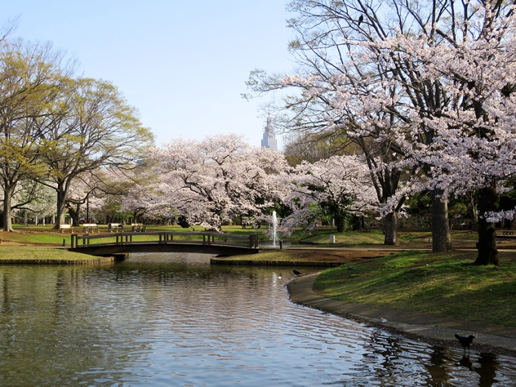 There are lots of huge cherry trees that bloom in late march to early April, and the cherry blossom parties here are legendary.