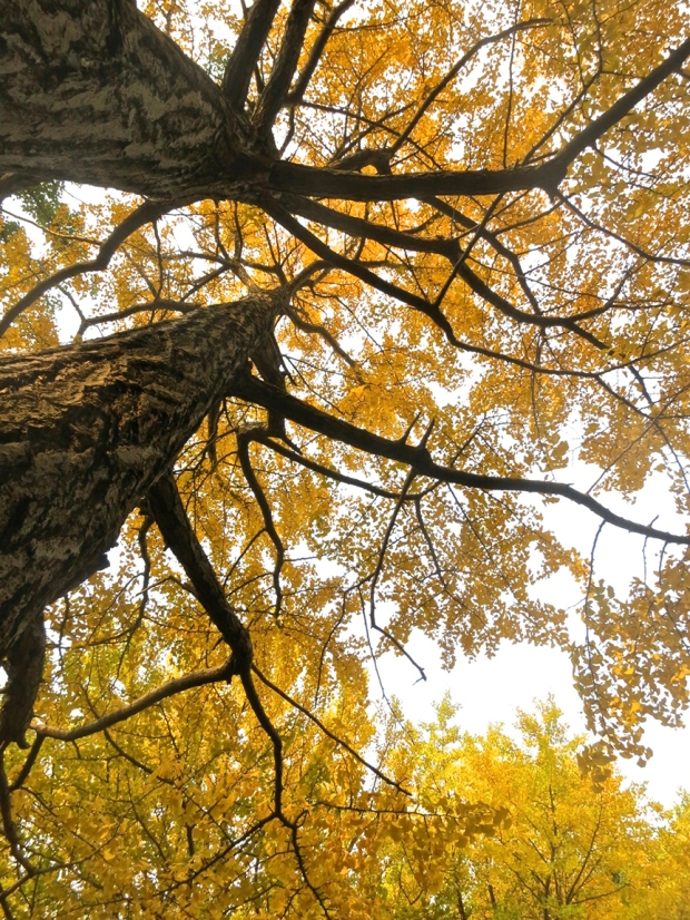 In fall, the ginkgo trees turn the park into a sea of gold.