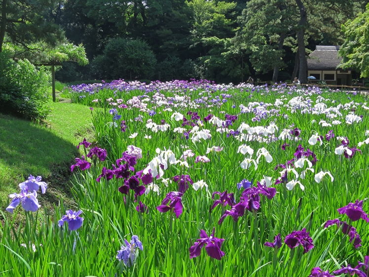 Oh, and iris. Did I mention Japanese iris? They bloom in early June.