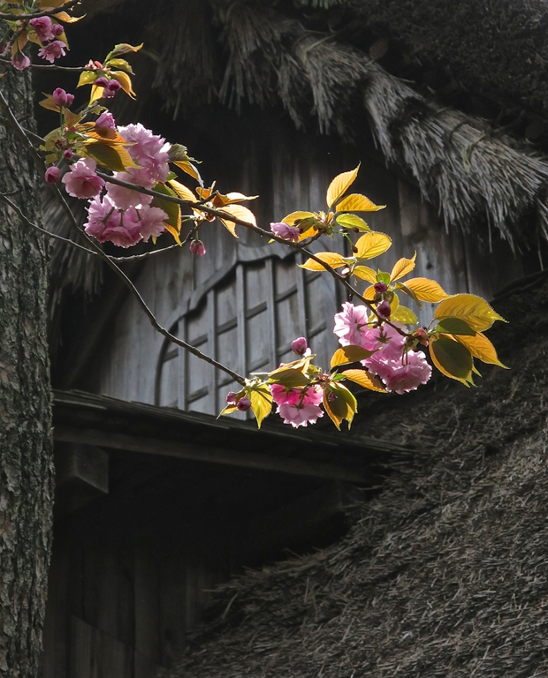 The garden puts on a show in every season. These late cherry blossoms are growing outside on of the thatch-roofed houses delightfully discovered along the many scenic trails.