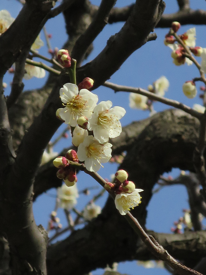 The temple also has a great display of plum blossoms in late Feb.