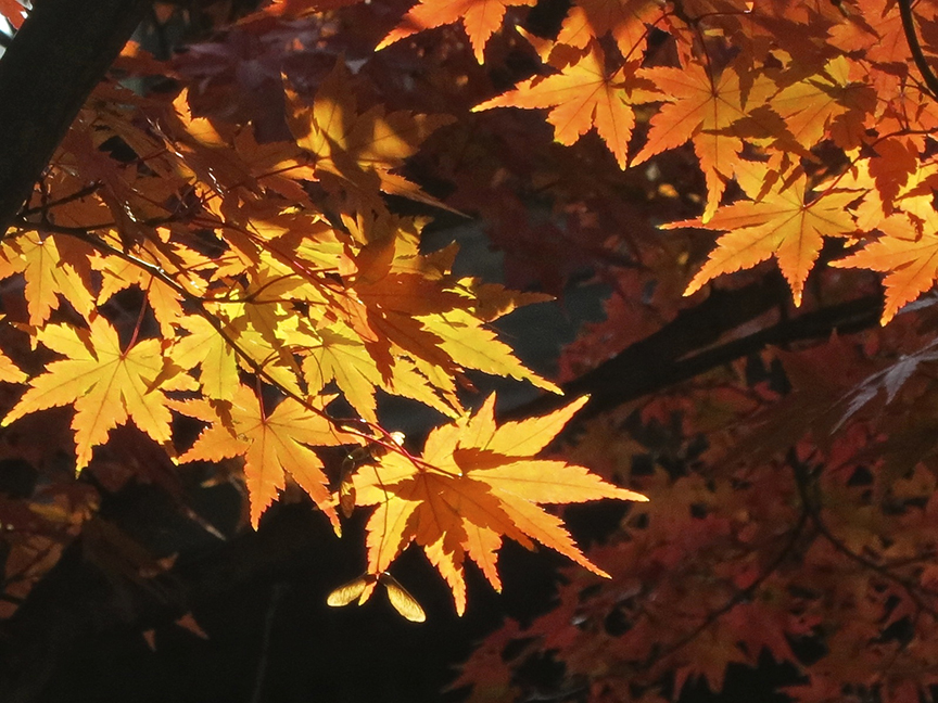 This is one of the best (and earliest) places to see fall leaves in Tokyo.