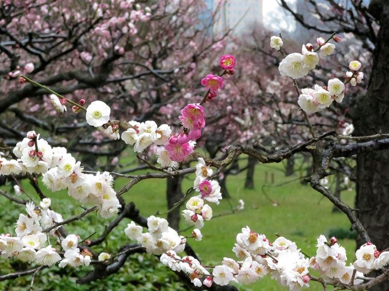 Plum blossoms in full bloom at Hama Rikyu Teien