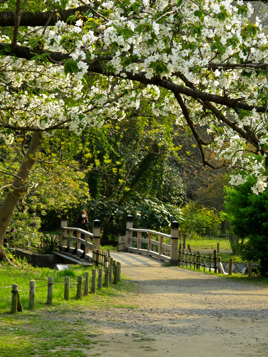 Early April brings cherry blossoms to the rest of the garden.