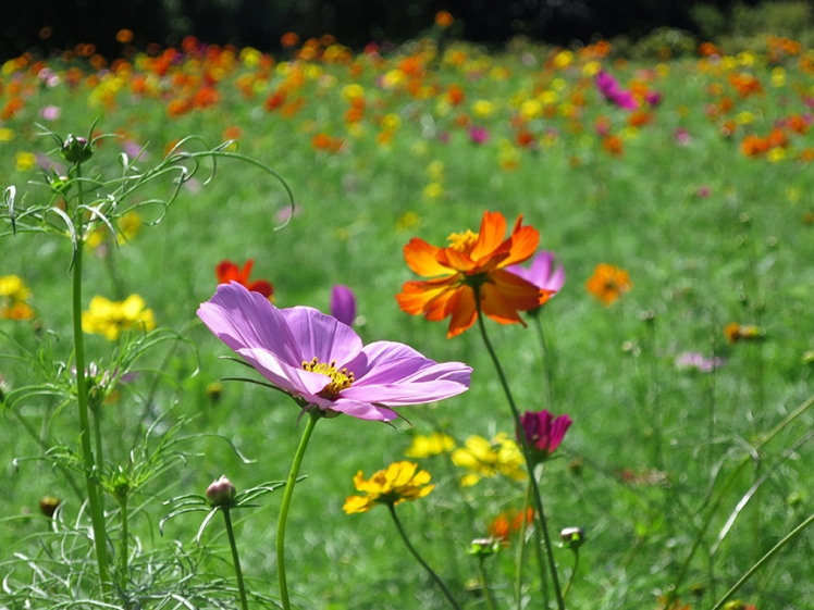 A glorious field of cosmos is planted to bloom in September.