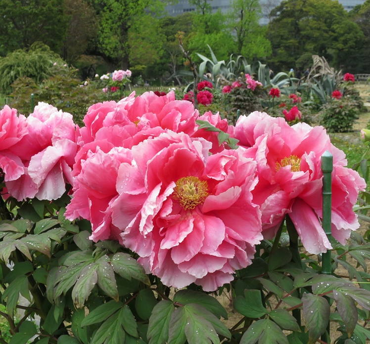 In mid-late April, the peony garden is at its peak.
