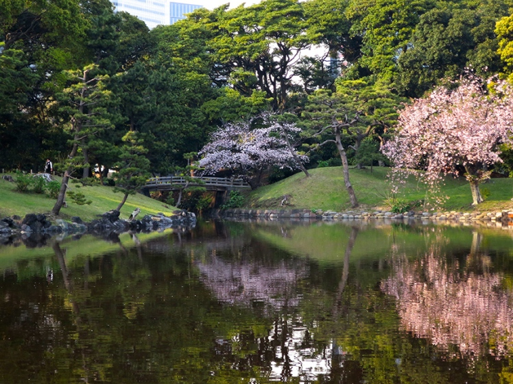 The pond reflects blooming cherry trees in late March.