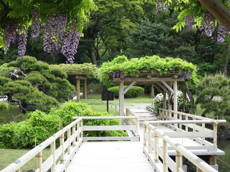 Wisteria blooms in late April to early May.