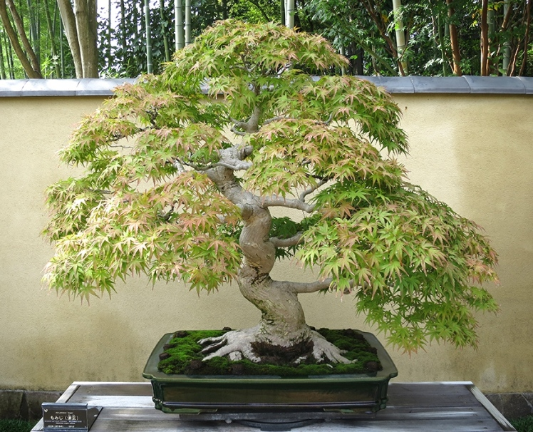 A walled courtyard near the pond displays ancient specimens of bonsai, in many varieties.