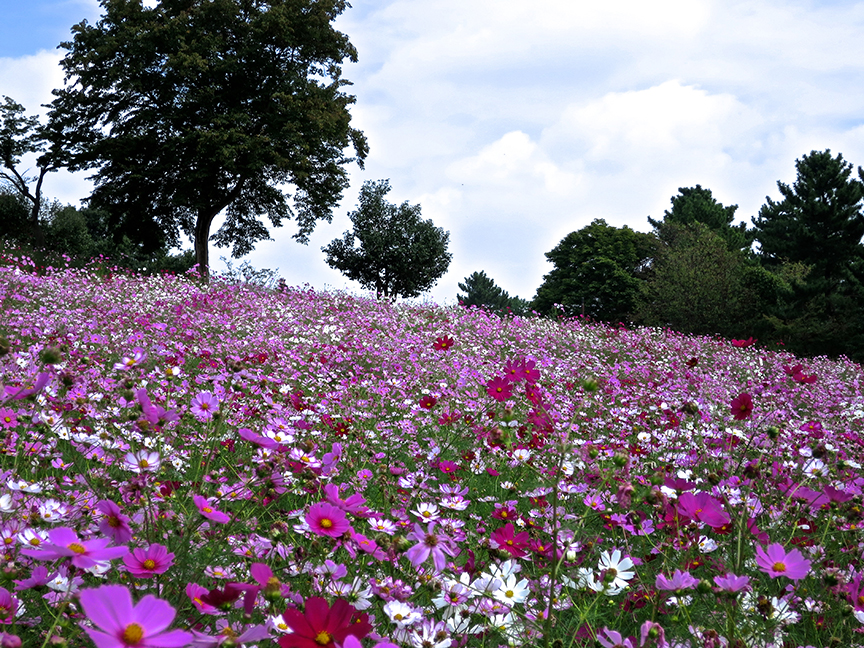Showa Kinen is known for grand displays of seasonal color, like this field of cosmos in September.