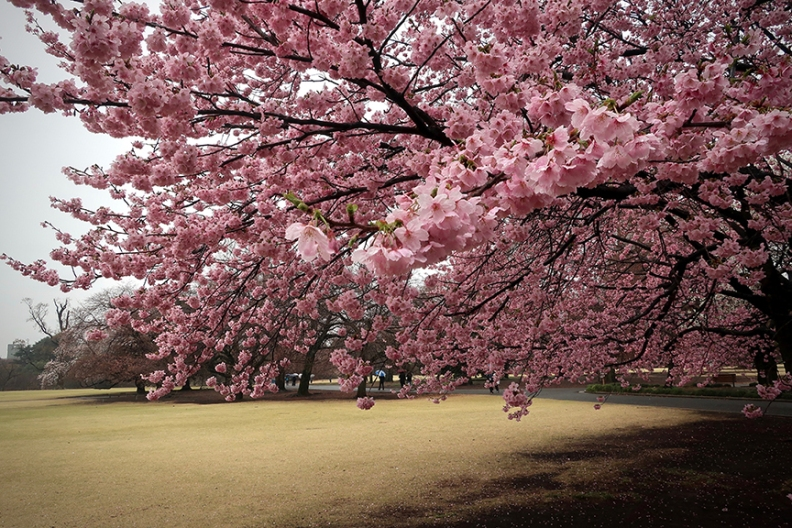 Kanzakura early blooming cherry trees in full bloom at Shinjuku Gyoen