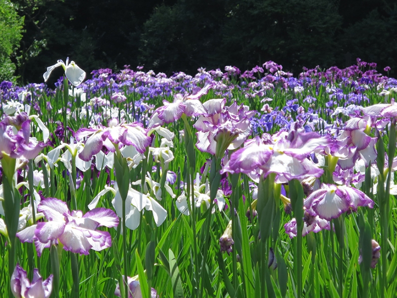 Japanese iris in bloom