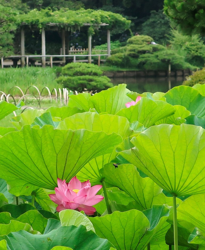 Lotus blooming at Sankeien garden in Yokohama