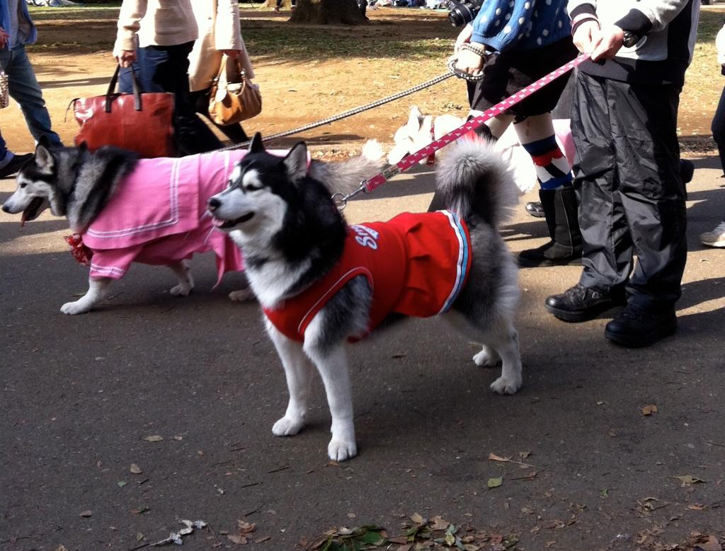Huskies dressed in schoolgirl uniforms at Yoyogi Park in Tokyo