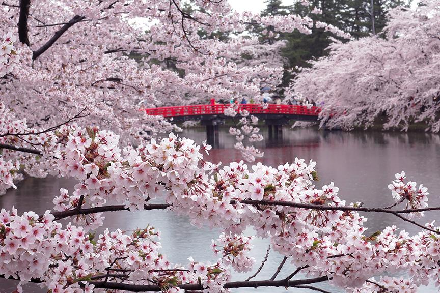 Cherry blossoms in full bloom at Hirosaki Castle